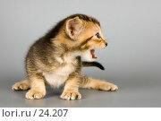 Котёнок абиссинской породы в студии. Стоковое фото, фотограф Vladimir Suponev / Фотобанк Лори