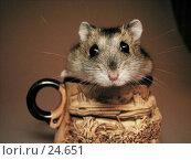 Купить «Джунгарский хомячок, выглядывающий из кружки», фото № 24651, снято 18 марта 2007 г. (c) Fro / Фотобанк Лори
