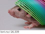 Купить «Крыса выглядывает из-под игрушки-пружины», фото № 26339, снято 18 марта 2007 г. (c) Golden_Tulip / Фотобанк Лори