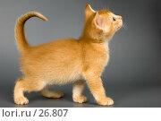 Купить «Котёнок в студии», фото № 26807, снято 17 марта 2007 г. (c) Vladimir Suponev / Фотобанк Лори