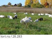 Купить «Козы пасутся», фото № 28283, снято 26 сентября 2006 г. (c) Сергей Ксейдор / Фотобанк Лори