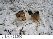 Купить «Пес Фунтик, отдыхающий на только что выпавшем снегу», фото № 28503, снято 6 ноября 2006 г. (c) Сергей Ксейдор / Фотобанк Лори