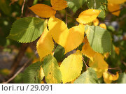 Купить «Листья вяза», фото № 29091, снято 29 сентября 2005 г. (c) Андрей Ерофеев / Фотобанк Лори