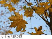 Купить «Желтые листья клена на фоне голубого неба», фото № 29095, снято 30 сентября 2005 г. (c) Андрей Ерофеев / Фотобанк Лори
