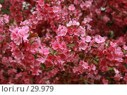 Купить «Розово-красный яблоневый цвет», фото № 29979, снято 27 марта 2007 г. (c) Demyanyuk Kateryna / Фотобанк Лори