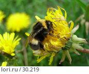 Купить «Шмель пьет нектар с цветка одуванчика», фото № 30219, снято 28 мая 2006 г. (c) Сергей Ксейдор / Фотобанк Лори