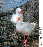 Купить «Гуси - лебеди», фото № 30971, снято 6 июля 2005 г. (c) Андрей Лабутин / Фотобанк Лори
