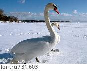 Купить «Лебединая прогулка», фото № 31603, снято 25 февраля 2006 г. (c) Андрей Лабутин / Фотобанк Лори