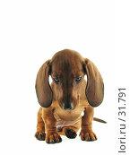 Купить «Карликовая такса на белом фоне», фото № 31791, снято 10 апреля 2007 г. (c) Ольга Хорькова / Фотобанк Лори