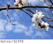 Купить «Ветка цветущего абрикоса», фото № 32519, снято 11 апреля 2006 г. (c) Галина  Горбунова / Фотобанк Лори