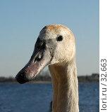 Купить «Молодой лебедь», фото № 32663, снято 14 апреля 2007 г. (c) Андрей Лабутин / Фотобанк Лори