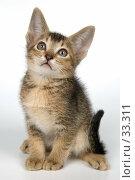 Купить «Котёнок абиссинской породы», фото № 33311, снято 8 апреля 2007 г. (c) Vladimir Suponev / Фотобанк Лори