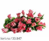Купить «Большой букет тюльпанов, лежащий на белом фоне», фото № 33847, снято 8 марта 2007 г. (c) Ольга Хорькова / Фотобанк Лори