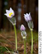 Первые цветы. Стоковое фото, фотограф vlntn / Фотобанк Лори