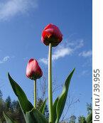 Купить «Тюльпан», фото № 39955, снято 5 мая 2007 г. (c) Маря / Фотобанк Лори