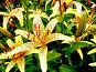 Яркие лилии, фото № 40551, снято 5 августа 2006 г. (c) Игорь Ворончихин / Фотобанк Лори