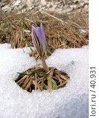 Купить «Крокус», фото № 40931, снято 27 марта 2005 г. (c) Александр Демшин / Фотобанк Лори