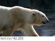 Купить «Белый медведь», фото № 42203, снято 10 апреля 2007 г. (c) Сергей / Фотобанк Лори