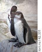 Купить «Пара пингвинов в зоопарке», фото № 42331, снято 21 января 2019 г. (c) Артемьева Анна / Фотобанк Лори