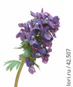 Цветок хохлатка плотная (Corydalis halleri).Вертикально. Стоковое фото, фотограф Петрова Ольга / Фотобанк Лори