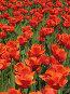 Тюльпаны, фото № 44771, снято 19 мая 2007 г. (c) Талдыкин Юрий / Фотобанк Лори