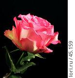 Купить «Роза в каплях воды на черном фоне», эксклюзивное фото № 45159, снято 15 февраля 2006 г. (c) Татьяна Белова / Фотобанк Лори