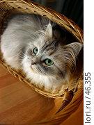 Купить «Кошка в корзине», фото № 46355, снято 28 декабря 2005 г. (c) Морозова Татьяна / Фотобанк Лори