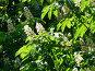 Цветущий каштан, эксклюзивное фото № 46431, снято 24 мая 2007 г. (c) Журавлев Андрей / Фотобанк Лори