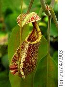 Купить «Хищное тропическое растение - Непентис рафлезиана (Nepenthes rafflesiana)», фото № 47903, снято 9 апреля 2007 г. (c) Eleanor Wilks / Фотобанк Лори