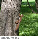 Купить «Белка бежит вверх по дереву», фото № 49155, снято 1 июня 2007 г. (c) Михаил Браво / Фотобанк Лори