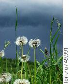 Купить «Одуванчики», фото № 49991, снято 22 июня 2003 г. (c) Морозова Татьяна / Фотобанк Лори