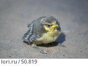 Купить «Птенец выпавший из гнезда», фото № 50819, снято 8 июня 2007 г. (c) Андрей Лабутин / Фотобанк Лори