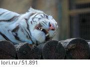 Купить «Оскал тигра сразу после зева», фото № 51891, снято 11 мая 2007 г. (c) Крупнов Денис / Фотобанк Лори