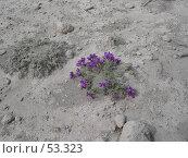 Купить «Цветы на вулканическом пепле», фото № 53323, снято 10 июня 2007 г. (c) Maxim Kamchatka / Фотобанк Лори