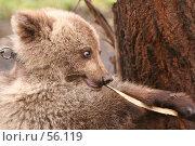 Купить «Медвежонок и ветка», фото № 56119, снято 8 октября 2006 г. (c) Останина Екатерина / Фотобанк Лори