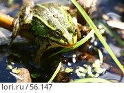 Купить «Зеленая лягушка сидит в воде летним днем», фото № 56147, снято 24 июня 2007 г. (c) Останина Екатерина / Фотобанк Лори