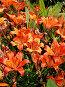 Цветы лилии тигровой, фото № 56167, снято 23 июня 2007 г. (c) Андрей Жданов / Фотобанк Лори