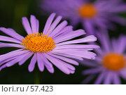 Купить «Комбинация из цветов астры», фото № 57423, снято 30 мая 2007 г. (c) Крупнов Денис / Фотобанк Лори