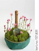 Купить «Камнеломка моховидная - цветки в горшке перед посадкой», фото № 57831, снято 26 мая 2006 г. (c) Harry / Фотобанк Лори