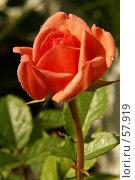 Купить «Роза», фото № 57919, снято 1 июля 2007 г. (c) Смирнова Лидия / Фотобанк Лори