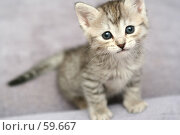 Купить «Взгляд маленького серого котенка», фото № 59667, снято 4 июля 2007 г. (c) Останина Екатерина / Фотобанк Лори