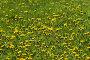 Яркая цветущая весенняя полянка с обилием одуванчиков, фото № 59767, снято 23 июня 2005 г. (c) Harry / Фотобанк Лори