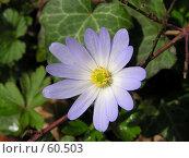 Купить «Цветение анемона», фото № 60503, снято 28 марта 2006 г. (c) Павел Филатов / Фотобанк Лори