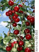 Купить «Вишневая гроздь», фото № 60603, снято 11 июля 2007 г. (c) Михаил Николаев / Фотобанк Лори
