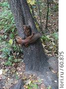 Купить «Белка на дереве», фото № 60875, снято 1 октября 2006 г. (c) Snowcat / Фотобанк Лори