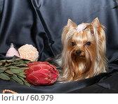 Купить «Йоркширский терьер на черном атласном фоне», фото № 60979, снято 24 октября 2006 г. (c) Ирина Мойсеева / Фотобанк Лори
