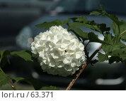 Купить «Белый цветочный шар калины», фото № 63371, снято 20 апреля 2007 г. (c) Demyanyuk Kateryna / Фотобанк Лори
