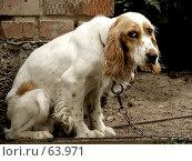 Купить «Спаниель с тоскливо-унылым взглядом, сидящий на цепи», фото № 63971, снято 21 июля 2007 г. (c) Андрей Жданов / Фотобанк Лори