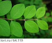Купить «Молодая весенняя листва на фоне леса», фото № 64119, снято 8 июня 2004 г. (c) Harry / Фотобанк Лори
