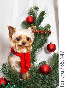 Купить «Йорк в красном шарфике около еловой ветки в красными новогодними шарами», фото № 65147, снято 5 октября 2006 г. (c) Ирина Мойсеева / Фотобанк Лори